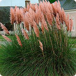 пампасная трава плюм розовая